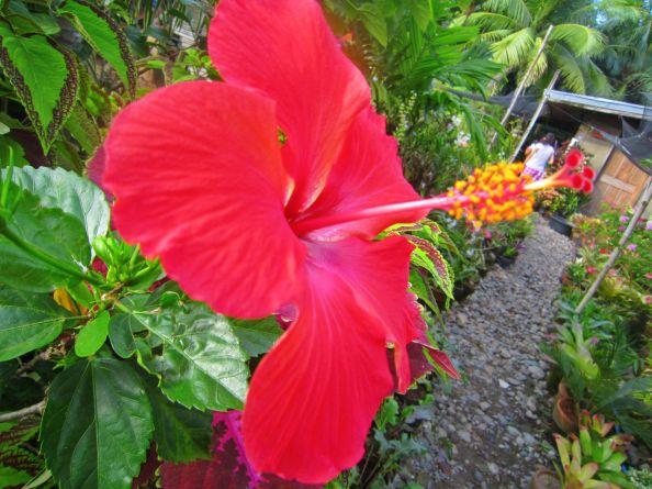 We call this Gumamela flower (Hibiscus)