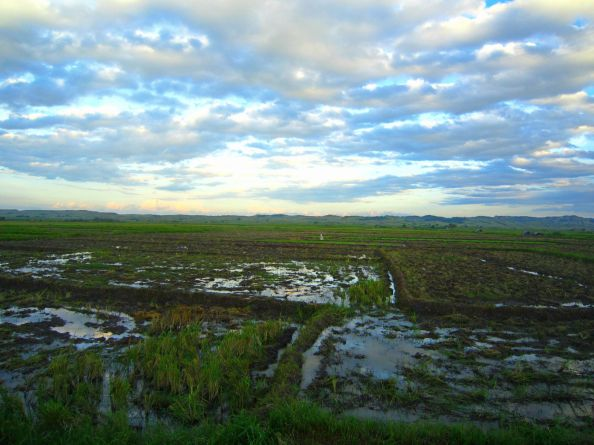 infinite rice fields and sky