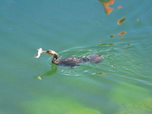 It's a...Cormorant!..with a fish in it's beak.