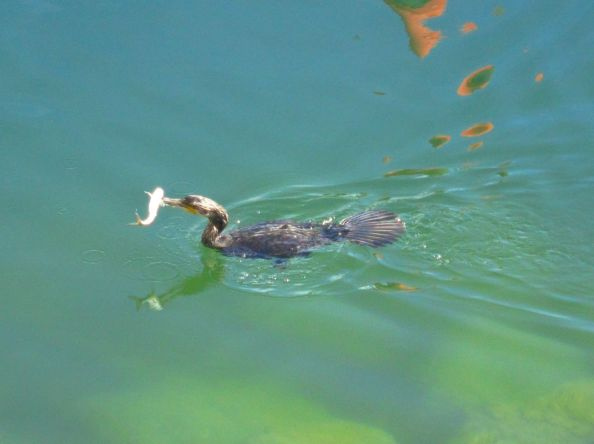 It's a...Cormorant!..with a fish in it's beak.