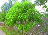 Young Mango tree taken at Isabela, Phil.