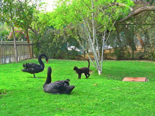 swan versus cat